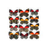 Callicore Butterflies Photographic Print by Christopher Marley
