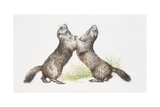 Two Alpine Marmots (Marmota Marmota) Standing, Illustration Prints