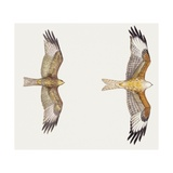 Zoology: Birds, Red Kite (Milvus Milvus) and Black Kite (Milvus Migrans) Flying Posters