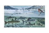 Freshwater Fishes: Mountain River in Winter, Illustration Posters