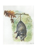 Virginia Opossum Didelphis Virginiana Hanging from Branch, Illustration Posters