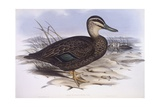 Pacific Black Duck (Anas Superciliosa), Engraving by John Gould Poster
