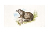 Alpine Marmot (Marmota Marmota) Sitting on Rock, Illustration Posters