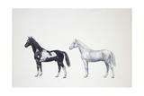 Two Pinto Horses (Equus Caballus), Illustration Prints