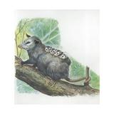 Virginia Opossum Didelphis Virginiana Carrying Cubs on Back, Illustration Prints