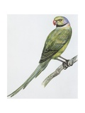 Zoology: Birds, Newton's Parakeet (Psittacula Exsul)), Illustration Stampe