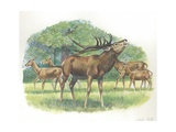 Family of Red Deers Cervus Elaphus, Illustration Prints