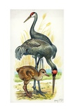 Sandhill Crane Grus Canadensis with Young, Illustration Art