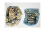 Close-Up of a Pair of Tawny Owls Perching on a Tree and Ducks Swimming in a Pond Posters