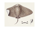 Fishes: Rajiformes, Spiny Butterfly Ray (Gymnura Altavela), Illustration Prints