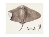 Fishes: Rajiformes, Spiny Butterfly Ray (Gymnura Altavela), Illustration Prints
