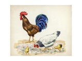 Rooster, Hen and Chicks Gallus Gallus, Illustration Posters