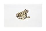 Tyrrhenian Painted Frog (Discoglossus Sardus), Illustration Posters