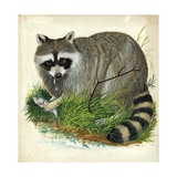 Raccoon Procyon Lotor, Illustration Posters