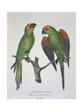 Parrots Aratinga Aurifrons, Male and Female, Engraving Stampe