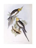 Cockatiel (Nymphicus Hollandicus), Engraving by John Gould Prints