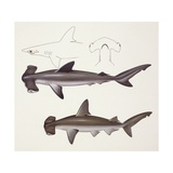 Fishes: Hammer Head Shark, Muraena Helena, Anguilliformes Prints