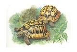 Hermann's Tortoises Testudo Hermanni, Illustration Poster