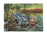 Close-Up of a Colorado River Toad Producing Eggs (Bufo Alvarius) Poster