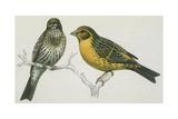 Birds: Passeriformes, Canary (Serinus Canaria) Couple, Illustration Art