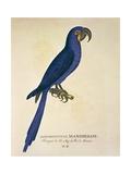 Parrot Ara Anodorhynchus Maximiliani, Engraving Reprodukce