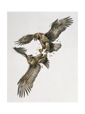 Close-Up of Two Golden Eagles Fighting (Aquila Chrysaetus) Poster