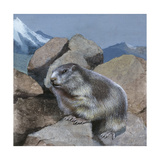 Alpine Marmot (Marmota Marmota), Illustration Prints