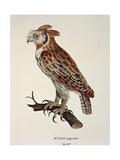 Owl Strix Longirostris, Engraving Poster