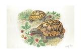 Hermann's Tortoises Testudo Hermanni Eating, Illustration Posters