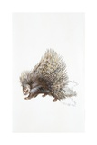 North African Crested Porcupine (Hystrix Cristata), Illustration Print