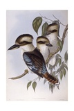 Laughing Kookaburra (Dacelo Novaeguineae), Engraving by John Gould Prints