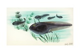 Toad Tadpoles, Illustration Art