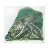 West Indian Manatee Trichechus Manatus with Young, Illustration Art
