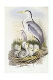 Grey Heron (Ardea Cinerea), Engraving by John Gould Poster