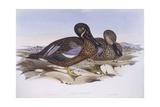 Australian Shoveler (Anas Rhynchotis), Engraving by John Gould Prints