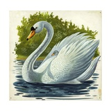Mute Swan and Chick Cygnus Olor, Illustration Prints
