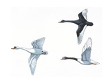 Black Swan, Mute Swans, Black-Necked Swan Posters
