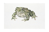 European Green Toad (Bufo Viridis), Illustration Posters