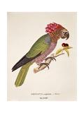 Parrot Psittacus Accipitrinus, Engraving Poster