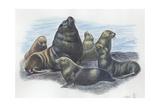 South American Sea Lion Otaria Flavescens or Byronia, Illustration Reprodukcje