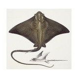 Fishes: Rajiformes, Common Eagle Ray , (Myliobatis Aquila), Illustration Prints