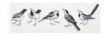 Zoology: Birds, Grey Wagtail (Motacilla Cinerea), Illustration Prints