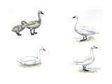 Mute Swans, Tundra Swan, Coscoroba Swan and Bewick's Swan Art