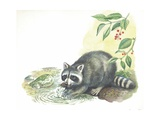 Raccoon Procyon Lotor Searching for Food in Stream, Illustration Poster