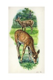 Red Deer Cervus Elaphus with Young, Illustration Poster