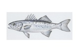 Fishes: Perciformes Moronidae, European Seabass (Dicentrarchus Labrax), Illustration Poster