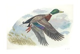 Male Mallard Anas Platyrhynchos in Flight, Illustration Art