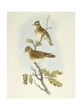 Wood Lark (Lullula Arborea), Engraving by John Gould Prints