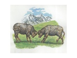 Young Yaks Bos Mutus or Grunniens Fighting, Illustration Posters