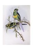 Mallee Ringneck (Platycercus or Barnardius Barnardi), Engraving by John Gould Posters